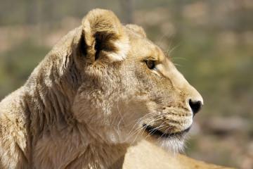 Aquila, Tagestour, Safari, Löwe