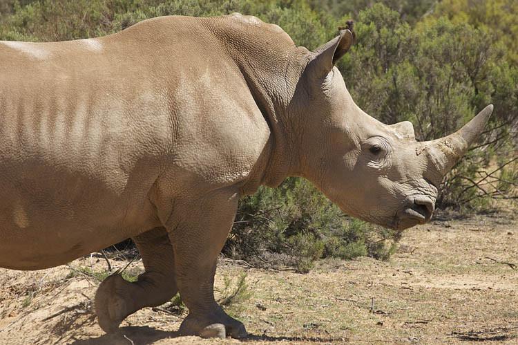 Aquila, Tagestour, Safari, Nashorn