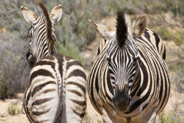 Aquila, Tagestour, Safari, Zebras