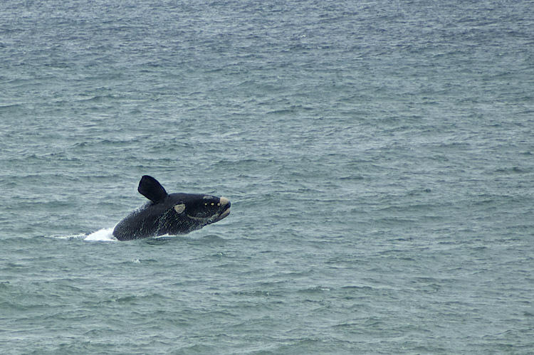 Wale, Wal, Whalewatching, Hermanus, Walbeobachtung