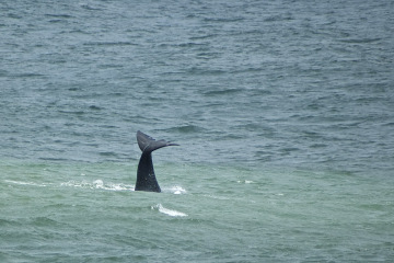 Wal, Schwanzflosse, Hermanus, Walbeobachtung, Whalewatching