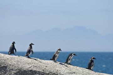 Pinguinkolonie Boulders , Simonstown, Kaphalbinsel Tour, Tagestour, Pinguine, Kap der Guten Hoffnung