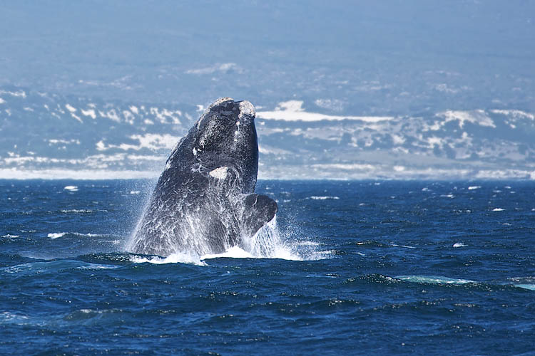 Southern Right, breaching, Wal, Whalewatching, Walbeobachtung, Hermanus, De Kelder