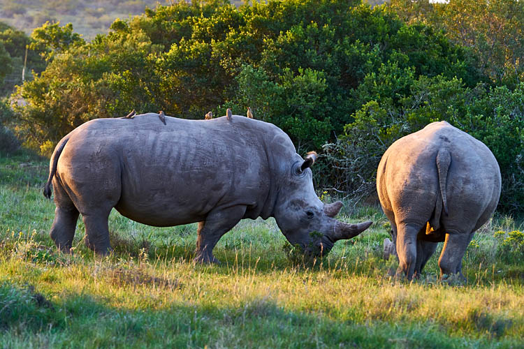 Nashorn, Nashörner, Wildlife